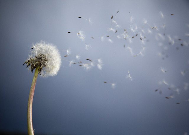 My Cute Name Wallpaper Beautiful Pictures Of Dandelion Flowers