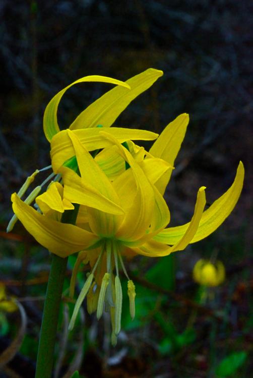 Glacier Lily