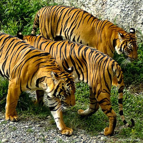 Malayan tiger { panthera tigris jacksoni }