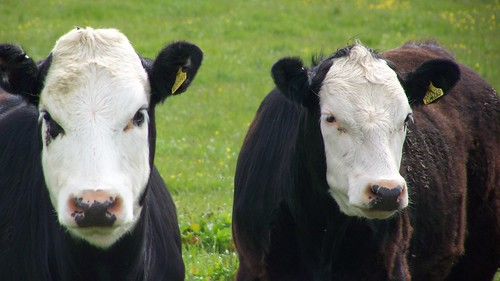 Two Orkney cows flutter their eyelashes at the camera