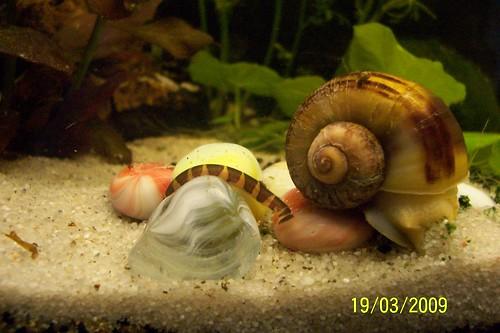 el Khulli, se lleva bien con el caracol, aunque por la foto parece otra cosa
