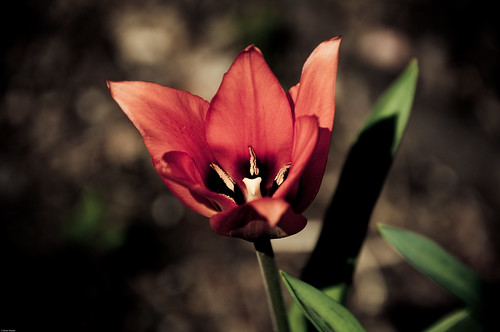 The First Tulip