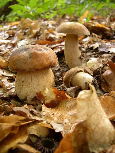Boletus aestivalis (funghi porcini), foto Newimage