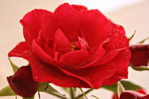 rose04_042509
