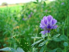 Gadab flower