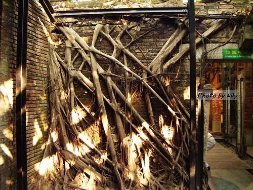 布滿牆壁的榕樹根,是由屋頂與牆壁的縫鑽入的。