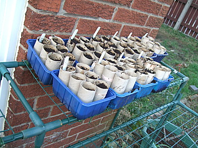 loo roll tubes full of compost with seeds planted