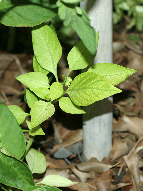 Red-Pepper-New-Growth