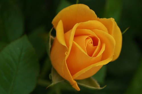 Yellow Rose by you.