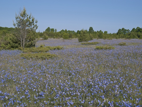 Common Flax