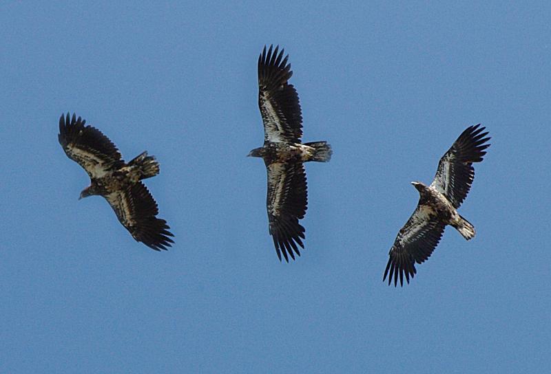 IMGP4510 Circling Eagle