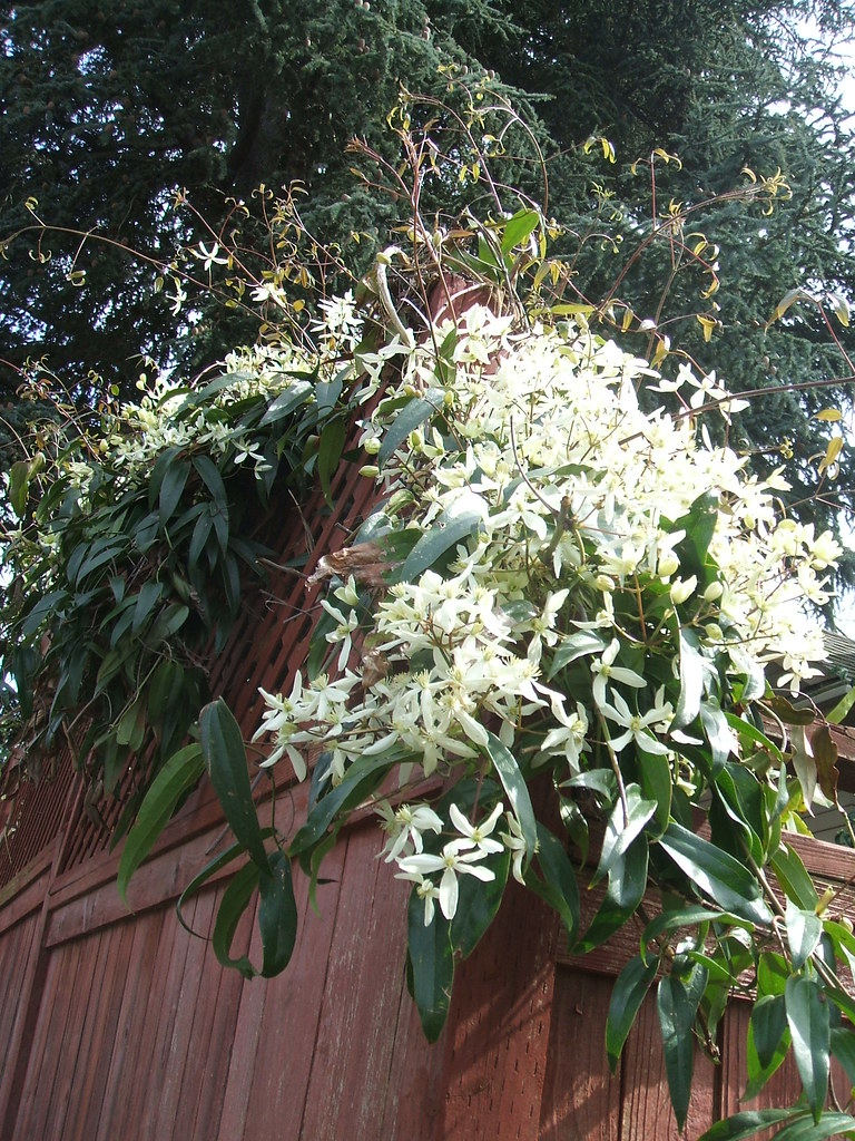 Neighbor's Clematis armandii on red fence