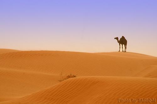 Camel by TARIQ-M