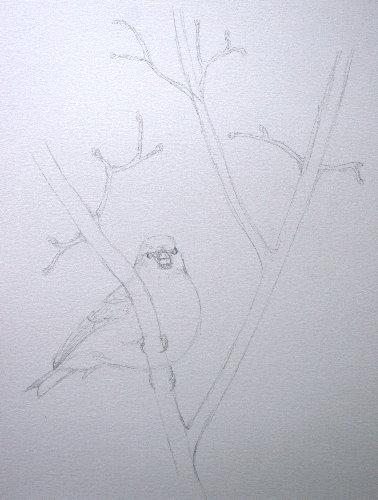 Hoary Redpoll - sketch