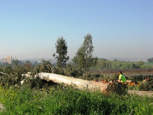 Tala grandes Eucaliptos en Campus Rabanales.  Universidad Córdoba.