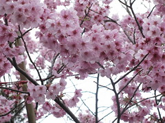 Sakura rosè