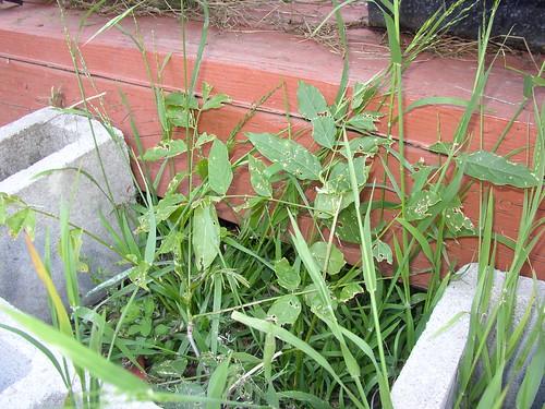 wisteria grown
