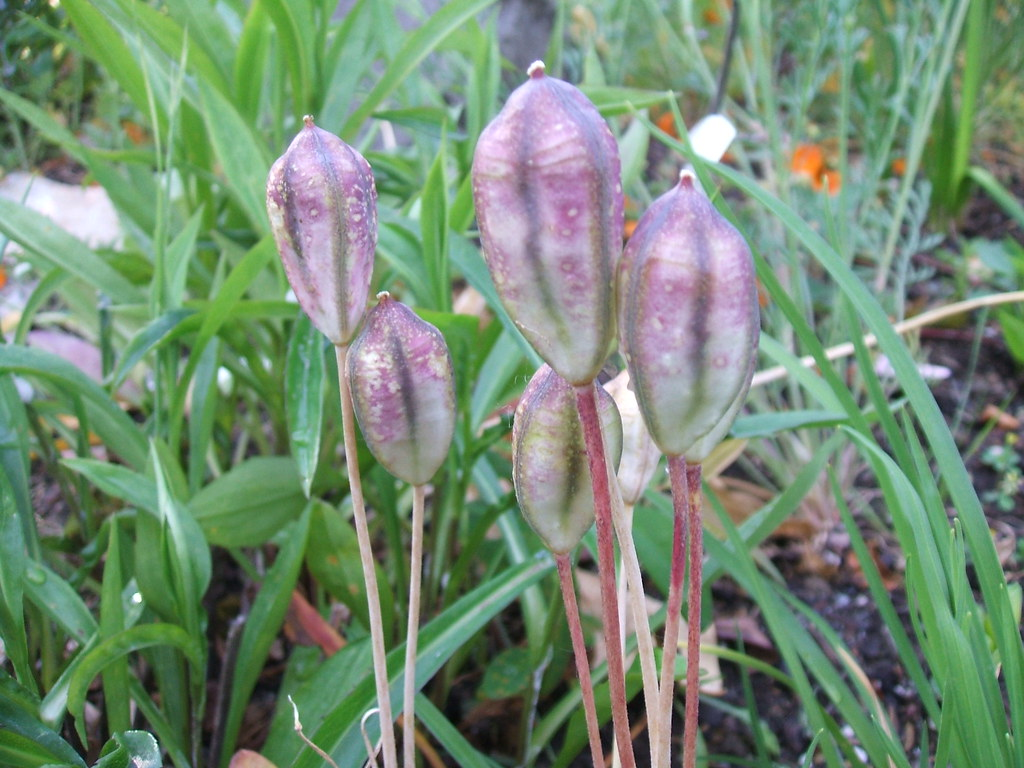 Species tulip seed pods