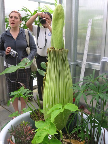 Corpse flower, also known as titan arum or Amorphophallus titanum, at San Francisco State Universitys greenhouse, Monday, June 29, 2009.