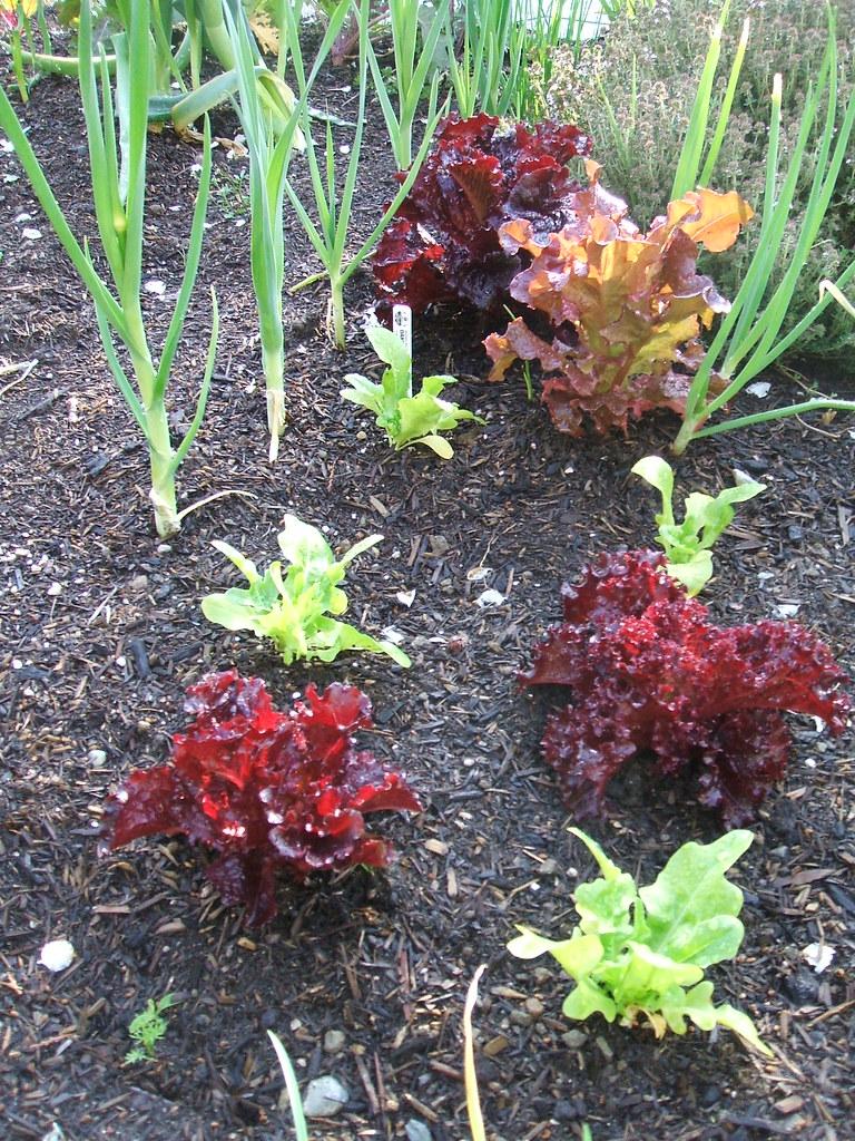 Sunlit lettuces