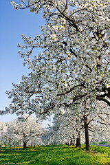 Wetterauer Kirschblütenwahn