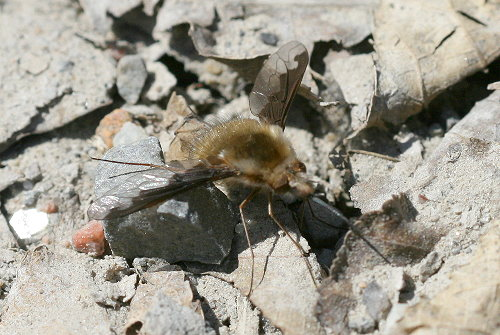 Greater Bee Fly, Bombylius major