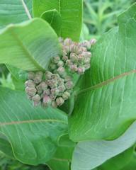 Common Milkweed 2