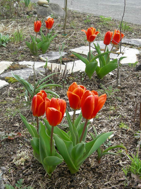Tulipa greigii in parking strip