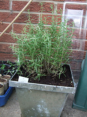 repotted rosemary plant
