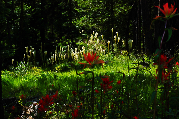 Bear grass and Indian Paintbrush