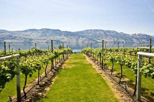Vineyards of Mission Hills with Lake Okanagan by the background