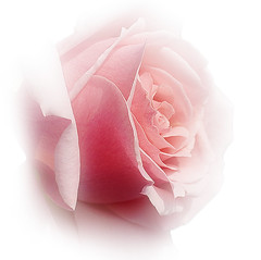 A beuatiful rose for my beloved friends