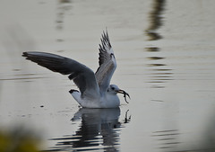 Juvenile Gull with Ragworm