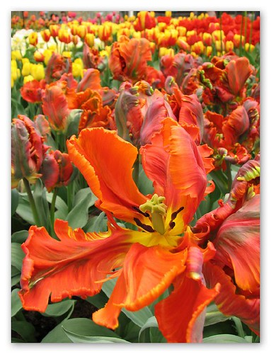 Orange tulips by you.
