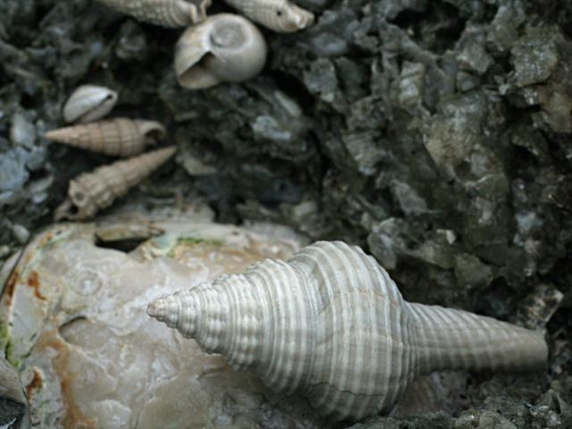Fossil--Shells-3