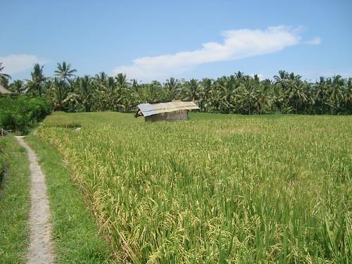 Endless rice paddies