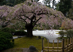 Cerisier en fleur au Japanese Garden