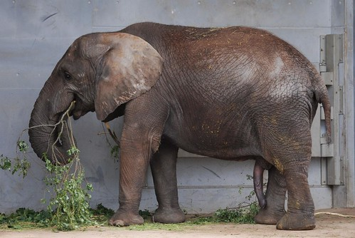 Afrikanischer Elefant Carl im Zoo Tallinn