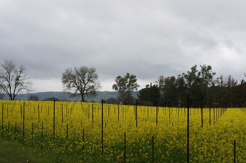 Early Spring in Sonoma
