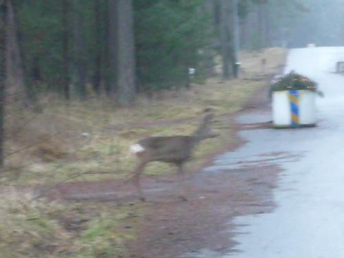 A very blurry bambi :-(
