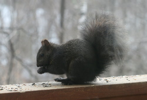 Blackie the squirrel