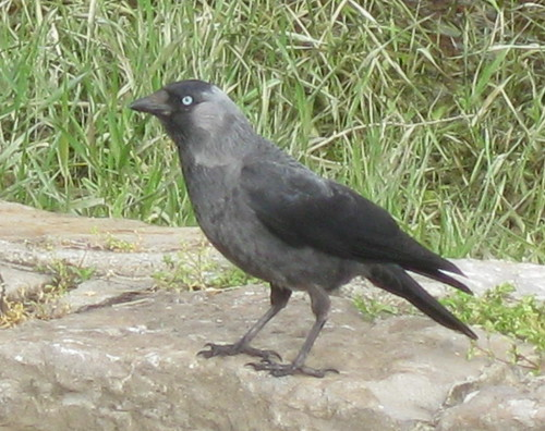 A Jackdaw Forages Near the Bike Path on the Sava River