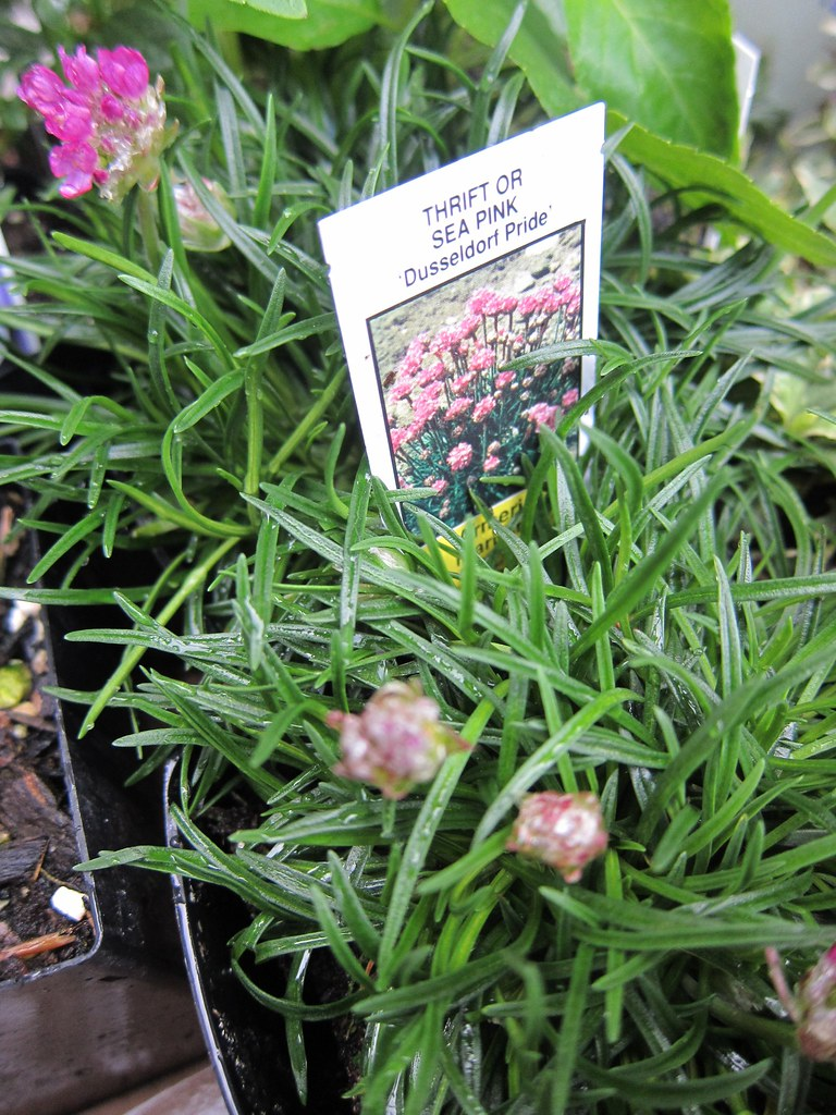 Sea thrift from plant sale