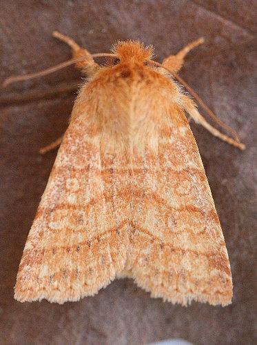 9929 - Pyreferra hesperidago - Mustard Sallow (2)