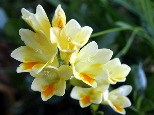 Sweet smelling fresias
