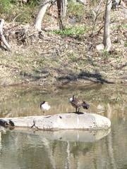 Geese in creek