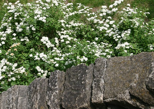 Bridal wreath at the tower