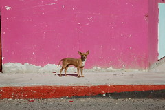 Red Chihuahua poses for a photo, white chest f...