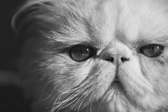 Garley the Persian cat
