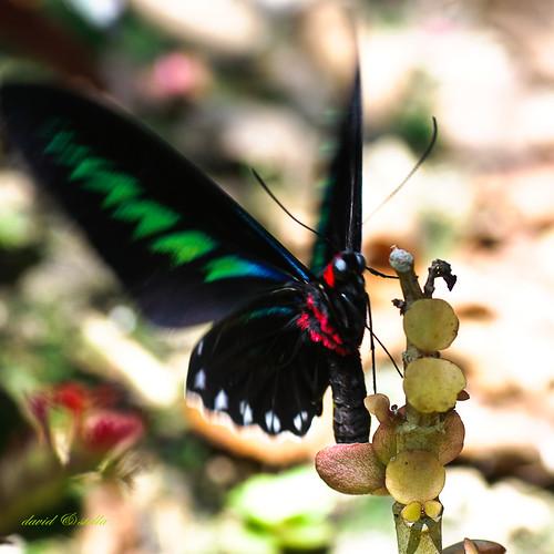 Rajah Brooke's Birdwing {trogonoptera brookiana}